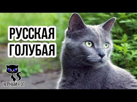 Русская голубая кошка / Интересные факты о кошках