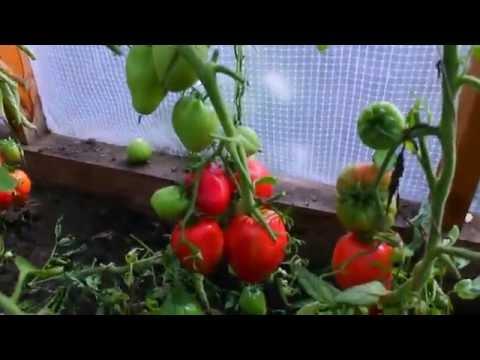 Урожай томатов 2016 год. Сорта.