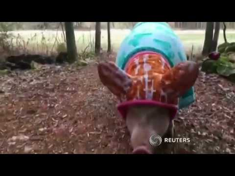 Esther the Wonderpig - Riesiges Schwein wird zum Internet-Hit