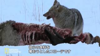 【ナショジオ】「世界大自然紀行:イエローストーンのオオカミ」より