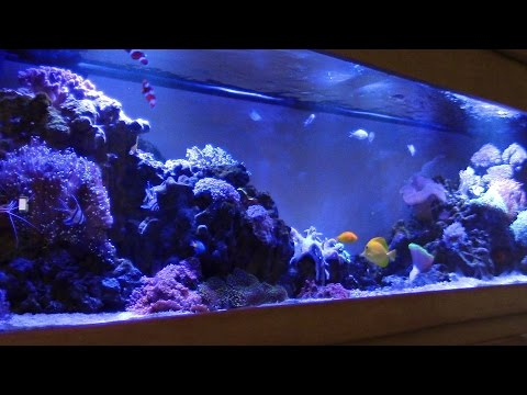 BEAUTIFUL REEF TANK NO PROTEIN SKIMMER!! MIRACLE MUD KEVIN