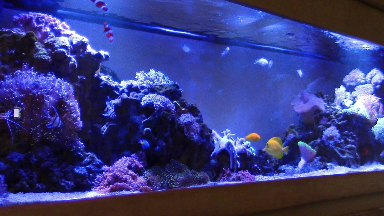Saltwater aquarium - Beautiful Reef Tank No Protein Skimmer Miracle Mud Kevin S Saltwater Aquarium Coral Reef Youtube