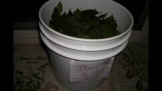 Bay Laurel Distillation for Hydrosol - 2011