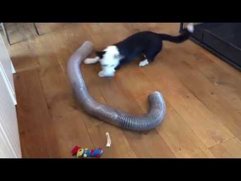 5 month old Cardigan Welsh Corgi plays with 2 ferrets - Unlikely Friendship