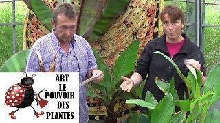 chaine jardinage culture et division comment multiplier un bananier basjoo plantes vertes ou vivace
