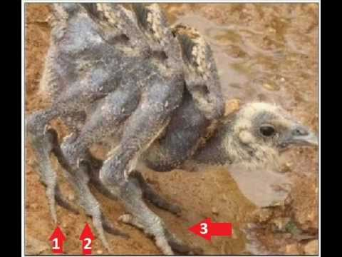 Kfc Chicken With 6 Wings 6 Legs Without Feather Mutation