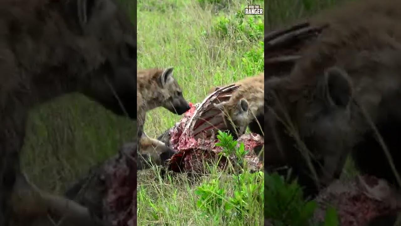 Hyenas Clean A Buffalo's Bones | Saturday #shorts
