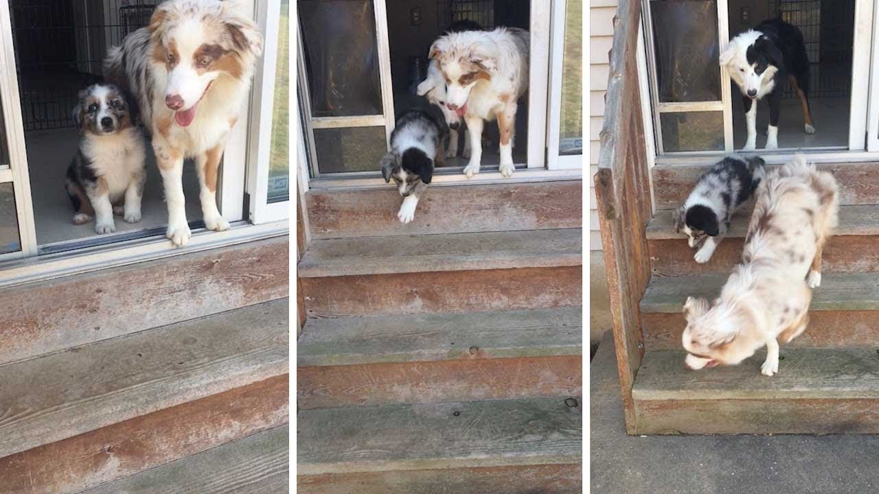 Older Pooch Helps Tiny Puppy Get Down Stairs