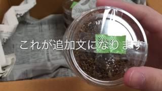 石川県産オオクワガタ幼虫が届きました