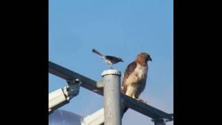 Mocking Bird Attacks Red-Tailed Hawk