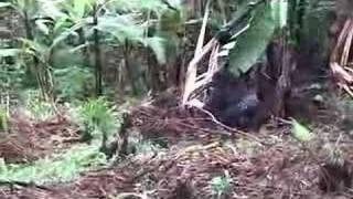 Silverback Gorilla Breaking Banana Tree