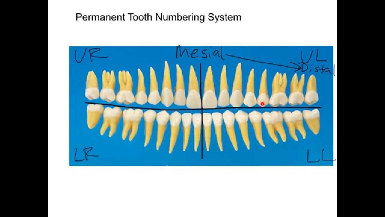 Permanent dentition numbering system tutorial youtube ccuart Gallery