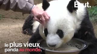 Basi, le plus vieux panda au monde est mort
