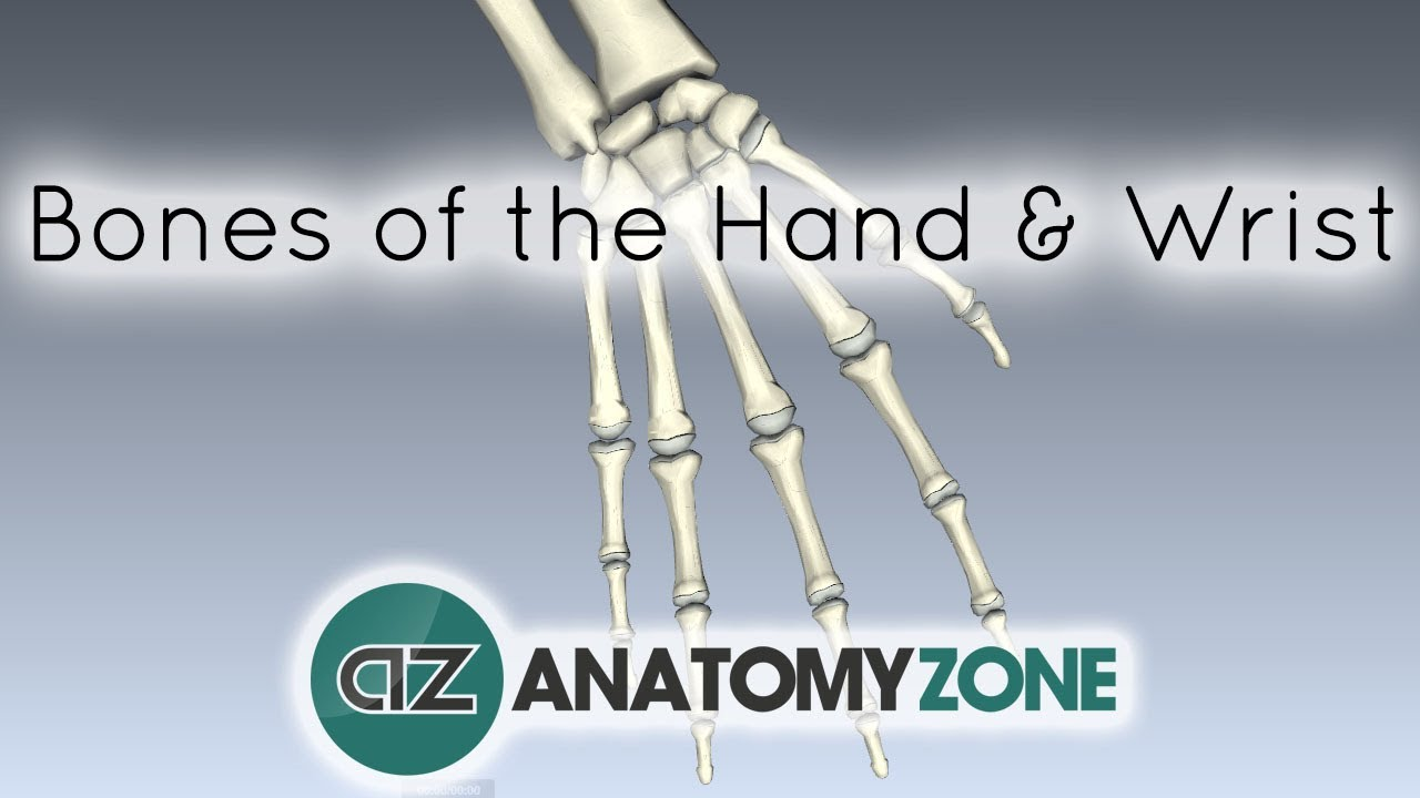 Bones Of The Hand And Wrist Anatomy Tutorial Youtube