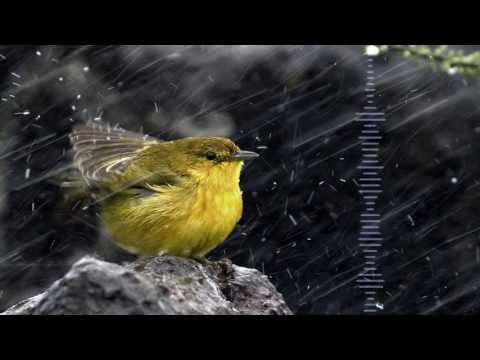 1 HOUR LIGHT RAIN AND WAKING BIRDS - Real Recorded Ambient Sounds - RELAX AND SLEEP BETTER