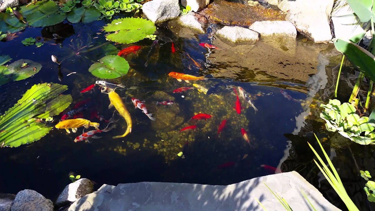 Crystal clear water koi pond goldfish and catfish youtube for Keeping koi in a pond