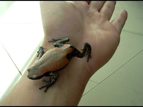 RED & BLACK RUBBER FROG ((PIXICEPHALUS SPECIE)) - YouTube