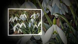 Первые Весенние Цветы. Подснежники и другие(Видео о первых цветах весны, подснежниках и других было снято в самый разгар начала цветения весенних цвето..., 2014-02-28T20:58:19.000Z)