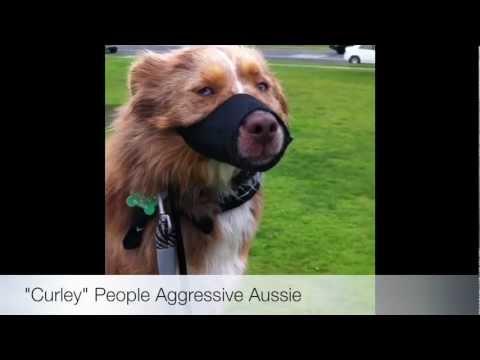 People Aggressive Australian Shepherd