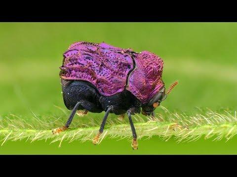 Tiny shiny Beetle from the Amazon rainforest of Ecuador