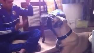 Bullmastiff Puppy Training- Funny