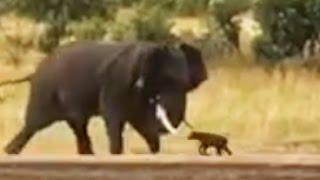 Baby Buffalo Shows Elephant Who's Boss