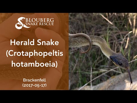 Herald Snake near Brackenfell, Cape Town, Western Cape, South Africa (20170517)
