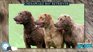 Chesapeake Bay Retriever  Everything Dog Breeds