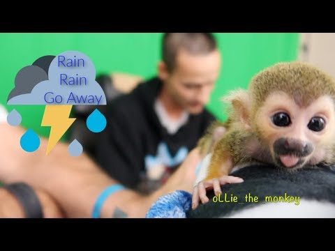 Baby Monkey oLLie Hanging with MonkeyBoo | Rainy Day VLOG