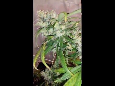 PLC CXB300 LED medical grow