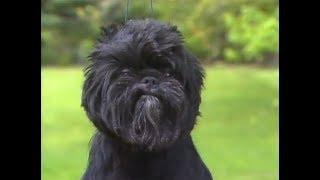 Affenpinscher - アーフェンピンシャー - American Kennel Club - Dog b...