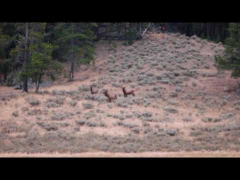 Yellowstone - Hayden Valley - Elk vs Coyotes