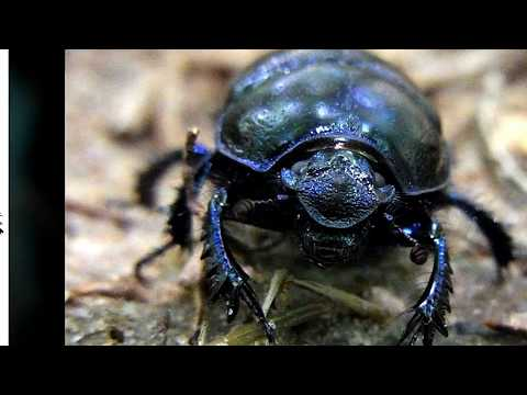 Interesting Facts about Dung beetle