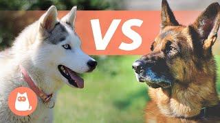 Husky Siberiano VS Pastor Alemán  ¿Cuál elegir?