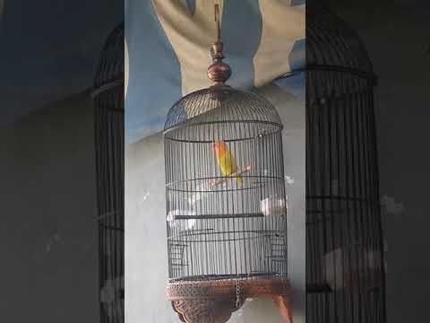 Suara pancingan paud Lovebird paskunPaud 2,5bln belajar ngekek