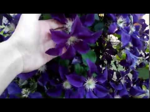 Клематис - превосходное вющиеся садовое растение