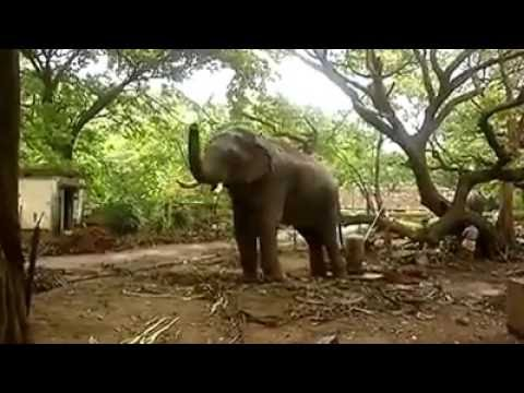 Most Violent Elephant Attack In kerala 2016-Must Watch ...