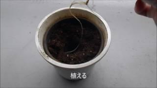 ローズマリー栽培歴7年 はじめてシリーズ(苗づくり) NHK趣味の園芸に...