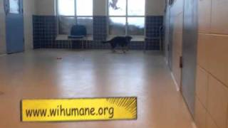 Kaiah A German Shepherd:beagle Mix Available For Adoption At The Wisconsin Humane Society