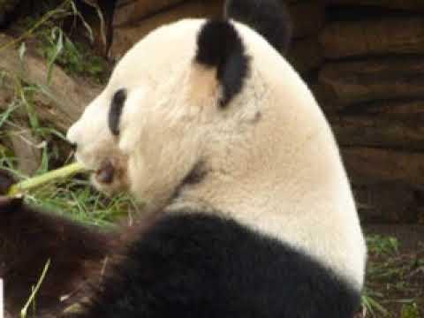 Panda Isst Bambus Youtube
