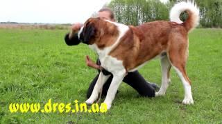 Уроки от Сафрона - разминка и растяжка для собакисобаки
