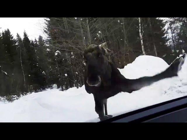 Kjører bak elgen - plutselig «klikker» den