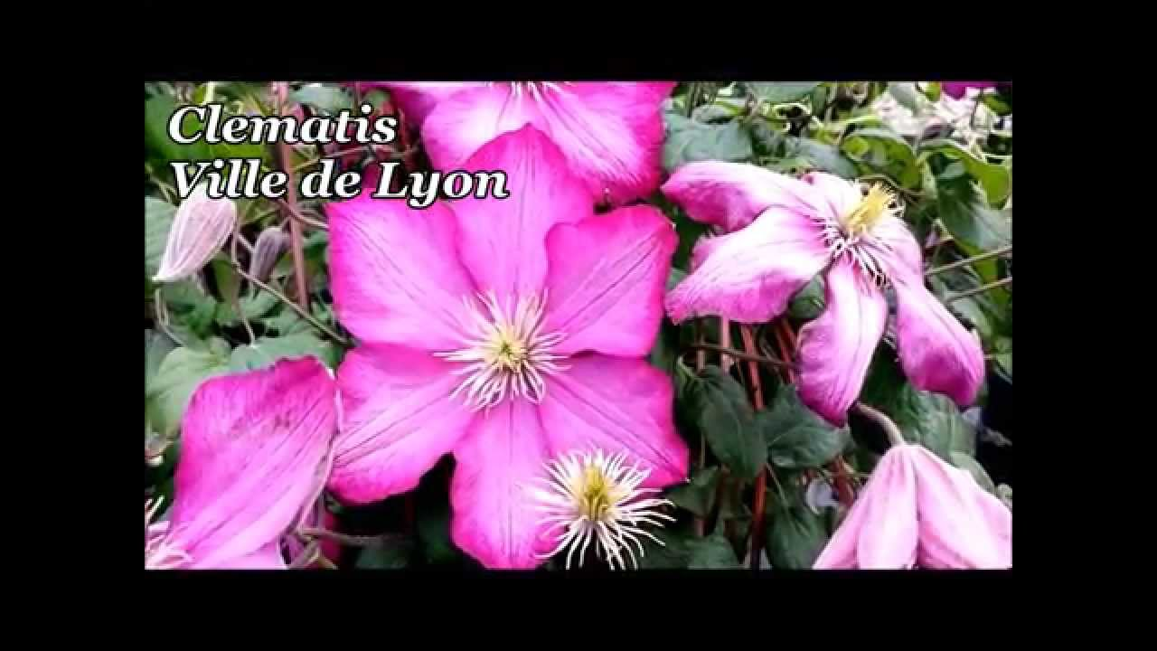 best flowering vines clematis ville de lyon youtube. Black Bedroom Furniture Sets. Home Design Ideas