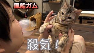 猫たちに初めて風船ガムを見せたらこうなる