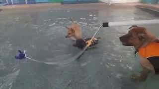Golden Retriever Chow Mix Miniature Poodle & Chihuahua Swim & Plays In Swimming Pool!