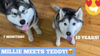 MILLIE MEETS GIANT 7 MONTH OLD PUPPY!! [LIFEWITHMALAMUTES]