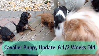 Cavalier Puppy Update: 6 1/2 Weeks Old