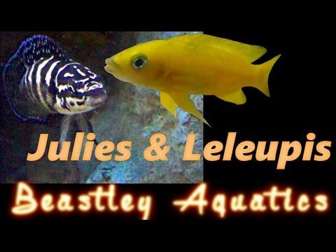 How To Keep And Breed Neolamprolagus Leleupi And Julidochromis Transcriptus