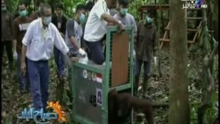 شاهد.. إطلاق سراح 12 إنسان غاب بإندونيسيا