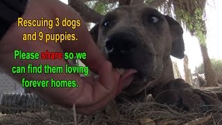 rescuing 3 dog and 9 puppies in the desert please share so we can find them loving forever homes